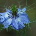 青いニゲラ