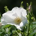 写真: 白いハマナス