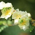 写真: つる薔薇