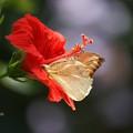 写真: ハイビスカスと蝶