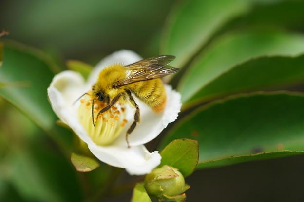 ヒメシャラと蜂