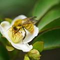 写真: ヒメシャラと蜂