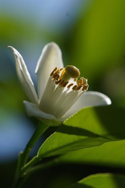 Photos: 蜜柑の花