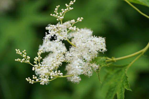 白花キョウガノコ