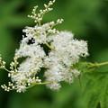 写真: 白花キョウガノコ