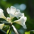 写真: 白いシャクナゲ