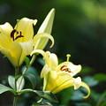 写真: 黄色い百合