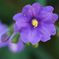 Photos: 紫宝花