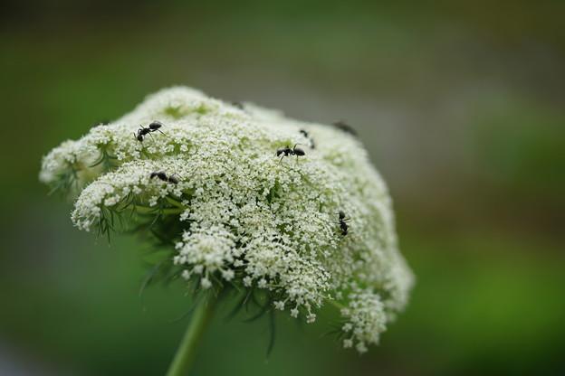 蟻の好きな花