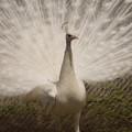 写真: 白い孔雀