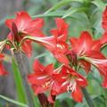 写真: アマリリスの花々