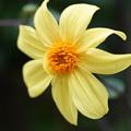 写真: 黄色いダリア