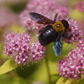写真: 下野とクマバチ
