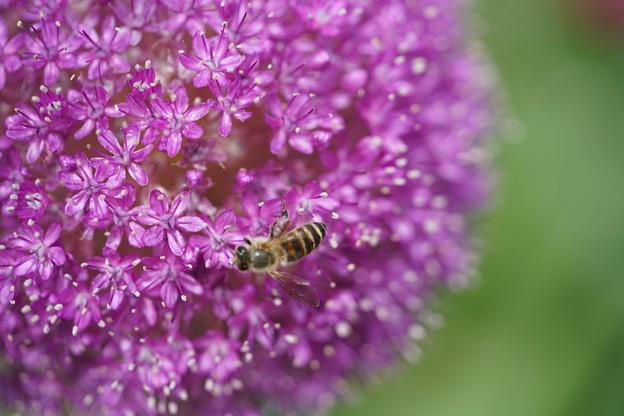 蜂とアリウム