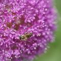 写真: 蜂とアリウム