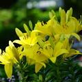 写真: 黄色い百合の花