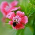 写真: ナデシコと昆虫