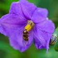 写真: 紫宝花