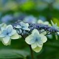 Photos: 水色の紫陽花
