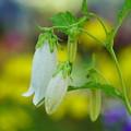 写真: 白花ホタルブクロ