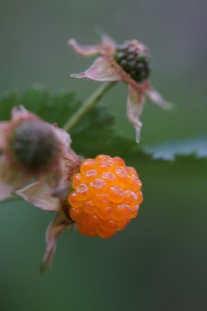 写真: モミジイチゴ