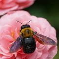 写真: 薔薇とクマバチ