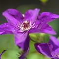写真: 紫のクレマチス