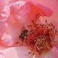 写真: 薔薇とアブ
