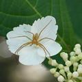 Photos: 紫陽花と蜘蛛