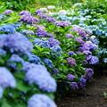 写真: 紫陽花の散歩道