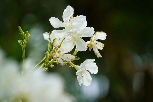 写真: 白いキョウチクトウ