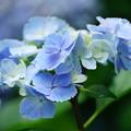 写真: 水色の紫陽花