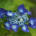 濃紺の紫陽花