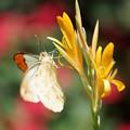 写真: 花とツマベニチョウ