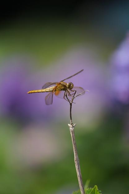 蜻蛉の休息