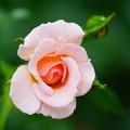 写真: ピンク・シャンパーン