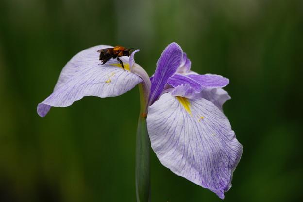 花菖蒲と蜂