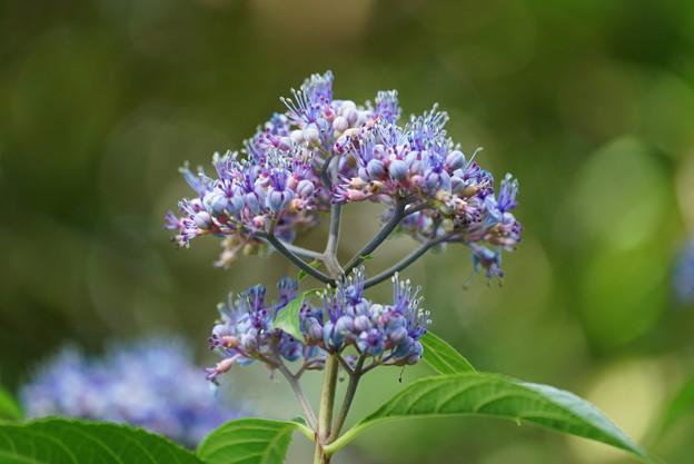 ジョウザン紫陽花