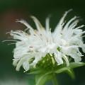 写真: 白いベルガモット
