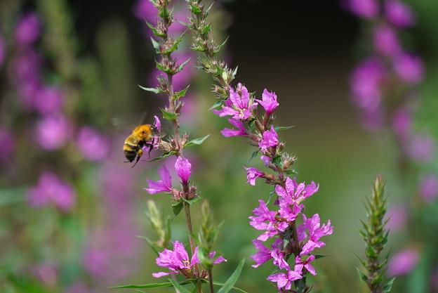 蜂とミソハギ