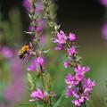 写真: 蜂とミソハギ