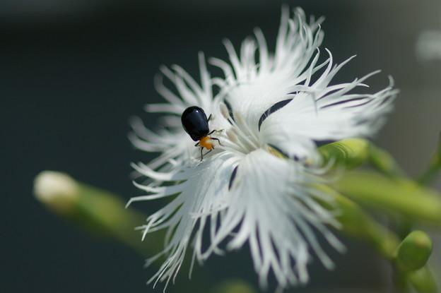 撫子と昆虫