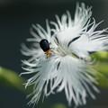 写真: 撫子と昆虫