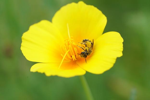 蜂と花菱草