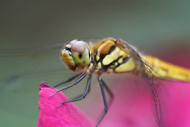 Photos: 蜻蛉