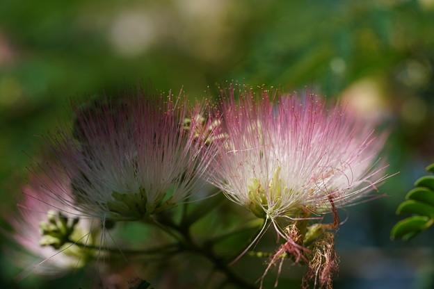 合歓木の花