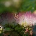 Photos: 合歓木の花