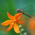 写真: 蜻蛉と姫おうぎ水仙