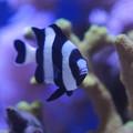 Photos: 水槽の魚