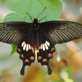 写真: ベニモンアゲハチョウ